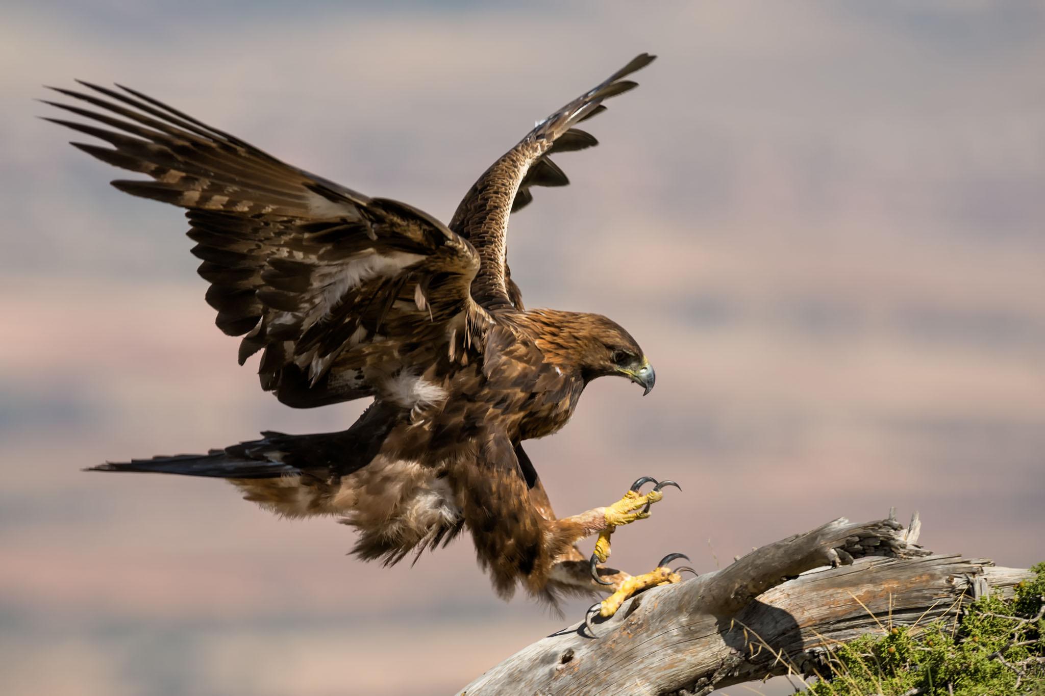 Aguila En La Espalda Águila real hiere a niña y casi se la lleva durante festival